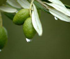 Hoja de Olivo – Propiedades y beneficios