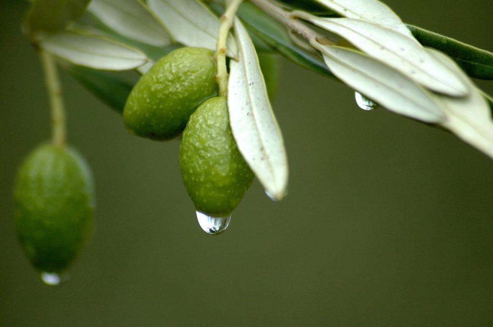 Hoja-de-Olivo-Propiedades-y-beneficios-olivas-en-rama