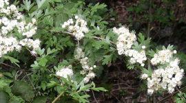 Espino blanco: Propiedades y Beneficios