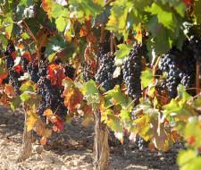 Aceite de semillas de Uva: Las semillas de uva contra el cáncer