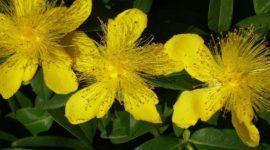 Hierba de San Juan | Propiedades, beneficios y para qué se utiliza
