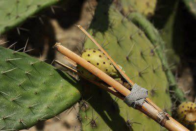 el-opuntia-coadyuvante-en-dietas-de-control-de-peso-coger-fruto