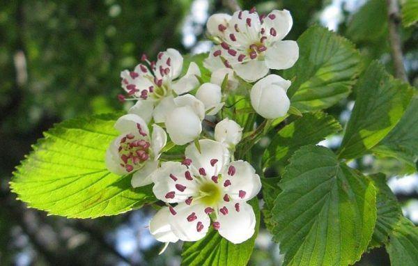 espino-blanco-propiedades