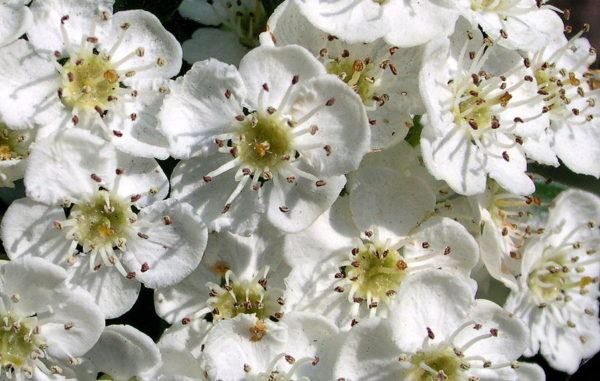 espino-blanco-propiedades-beneficios
