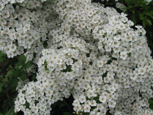 espino-blanco-propiedades-beneficios-que-es