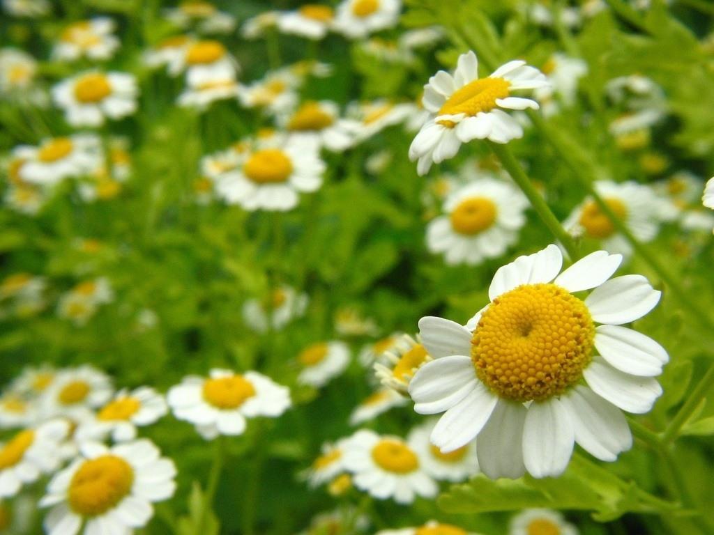 las-10-plantas-medicinales-mas-utilizadas-manzanilla