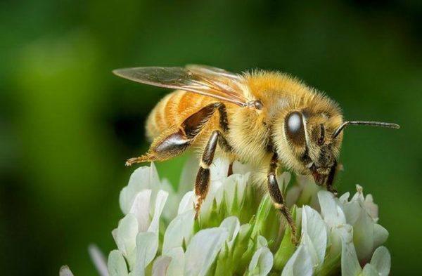 miel-de-manuka-un-antibiotico-natural-muy-potente-abeja