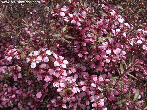 miel-de-manuka-un-antibiotico-natural-muy-potente-manuka-rosa