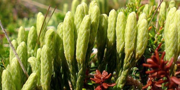 Lycopodium-clavatum-homeopatía-planta