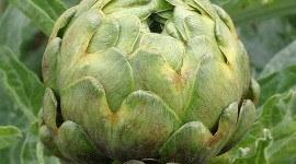 Extracto de hoja de alcachofa reduce el colesterol