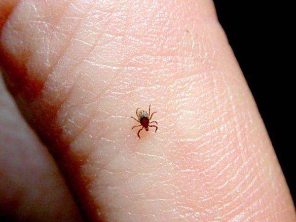 Picaduras de pulgas c mo reconocerlas s ntomas for Como combatir las garrapatas en el jardin