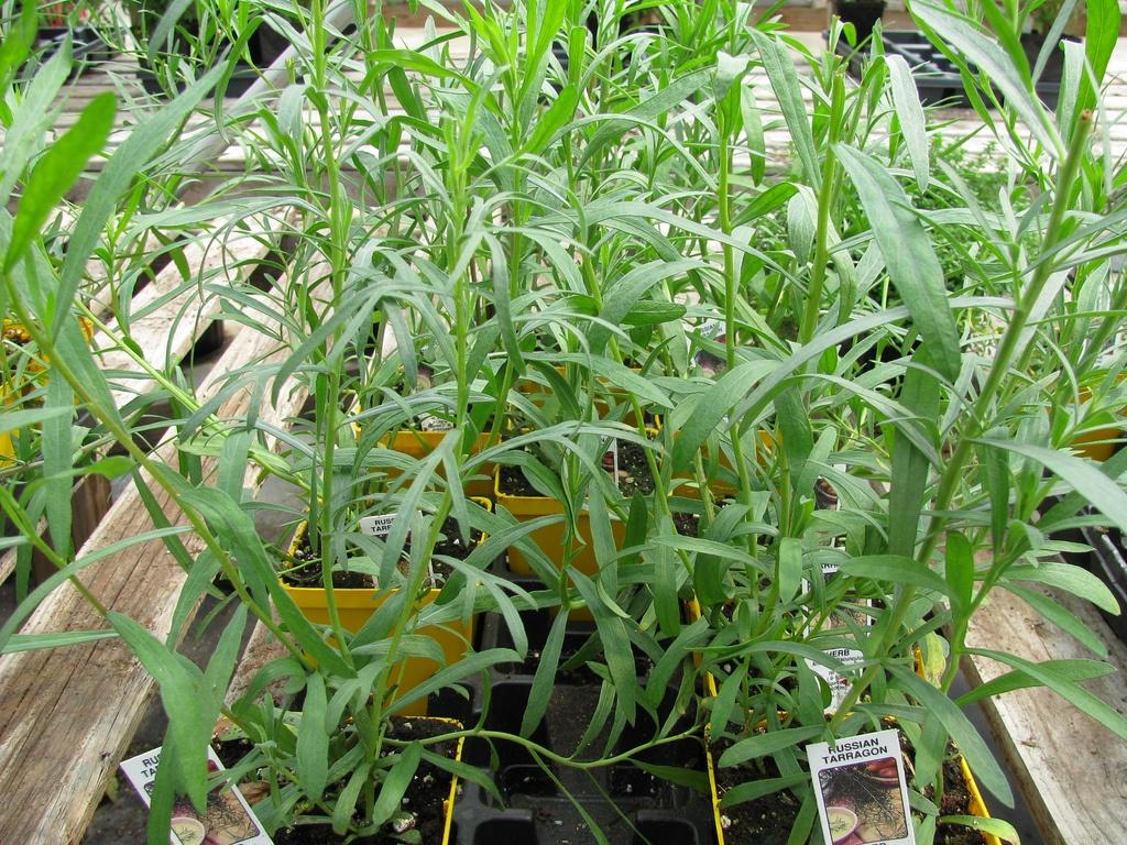 Las hierbas para combatir los trigliceridos altos - Plantas para setos altos ...
