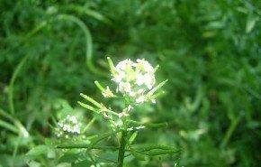 El Berro|Una planta protectora del ADN