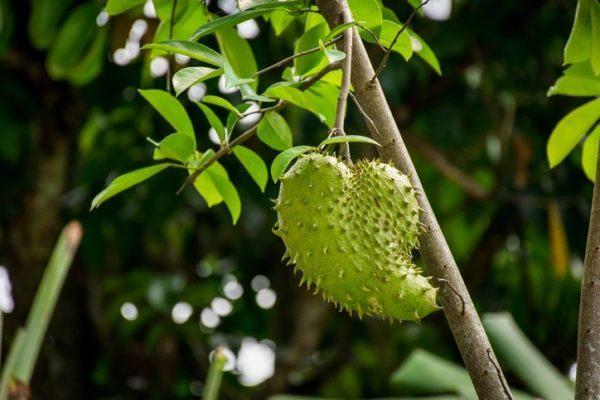 Guanabana contra el cancer como se toma fruto al natural