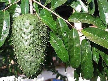 Propiedades de la Guanabana o Graviola la gota infusion de guanabana