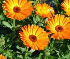 Las propiedades medicinales de la caléndula y su cultivo ecológico