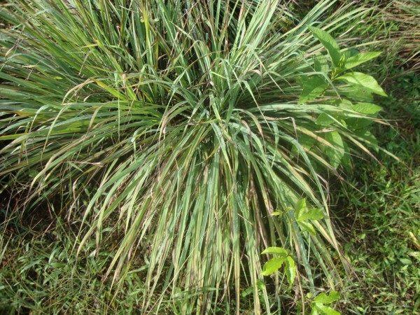 Hierba luisa o verbena propiedades y beneficios - Hierba luisa en maceta ...