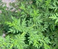 Hierba de San Juan o Artemisa: propiedades medicinales y su cultivo