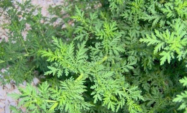 Hierba de san juan o artemisa propiedades medicinales y for Planta decorativa con propiedades medicinales