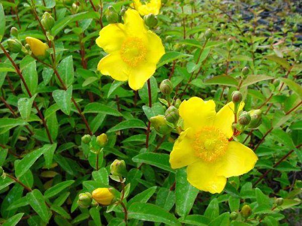 hierba-de-san-juan-o-artemisa-propiedades-medicinales-y-su-cultivo-que-es
