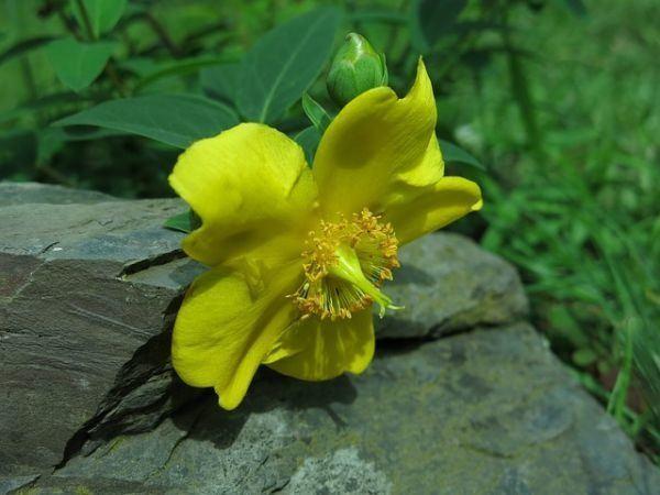 hierba-de-san-juan-o-artemisa-propiedades-medicinales-y-su-cultivo2