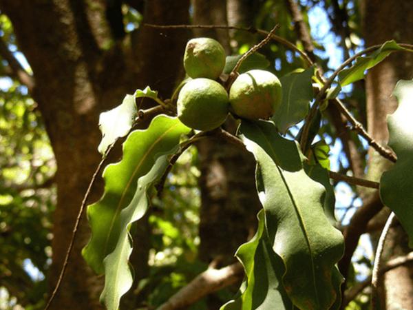 propiedades-de-la-macadamia-arbol