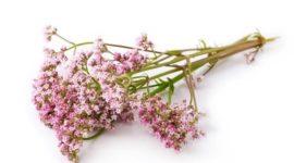 Valeriana: Propiedades y Beneficios para la Salud