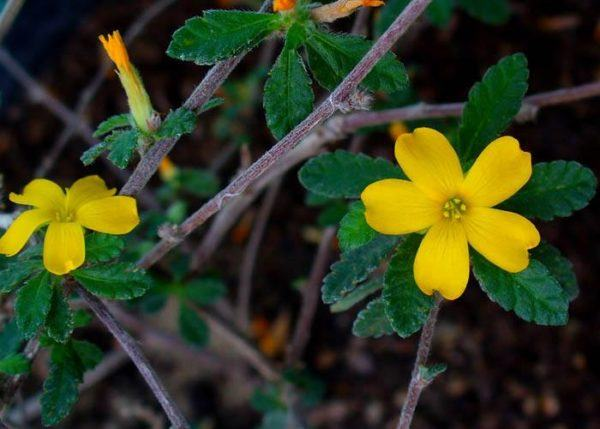 Damiana todos los beneficios y propiedades de esta planta for Donde venden plantas