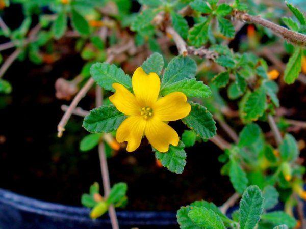 damiana-los-beneficios-y-propiedades-de-esta-planta