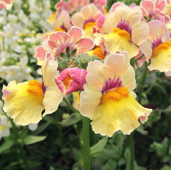 cuales-son-las-flores-del-verano-nemesias