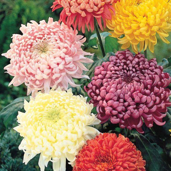 flores-de-invierno-crisantemo