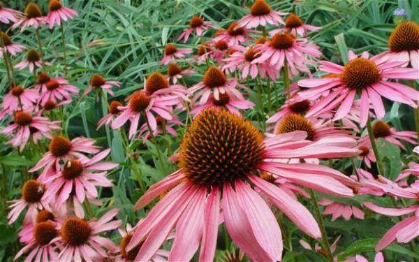 flores-de-otoño-equinacea