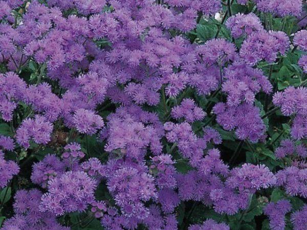 flores-de-primavera-ageratos