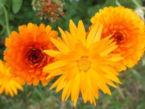 flores-de-primavera-calendulas