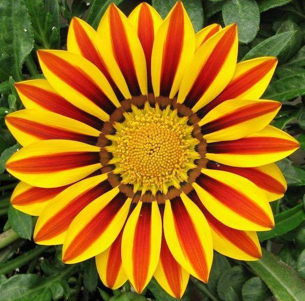 flores-de-primavera-gazanias