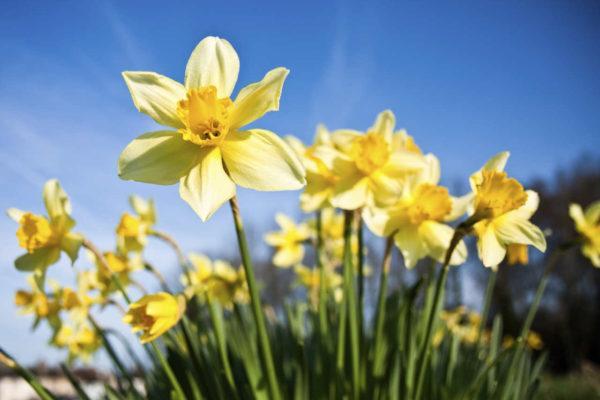 flores-de-primavera-narcisos