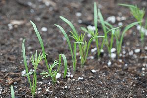 eneldo-propiedades-y-beneficios-cultivo