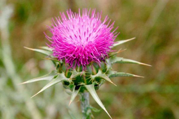propiedades-y-beneficios-del-cardo-mariano-flor