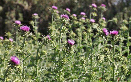 propiedades-y-beneficios-del-cardo-mariano-plantas