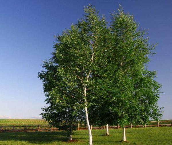 Abedul-propiedades-y-beneficios-preparar-aceite-de-abedul-arbol