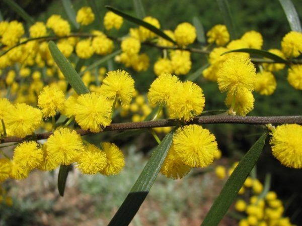 acacia orzuelos