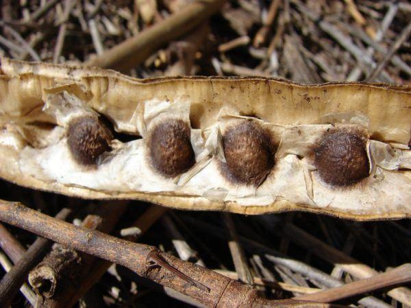 moringa-beneficios-y-propiedades-semillas