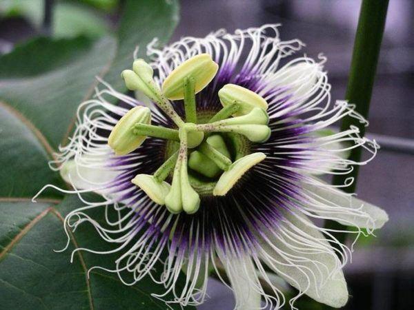 pasiflora-o-flor-de-la-pasion-propiedades-y-beneficios-para-la-salud