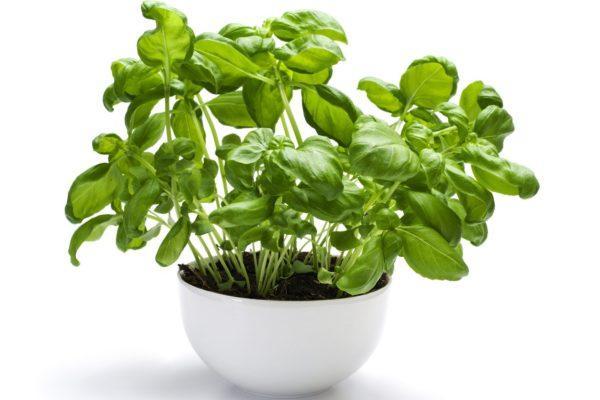 albahaca-propiedades-y-beneficios-plantar