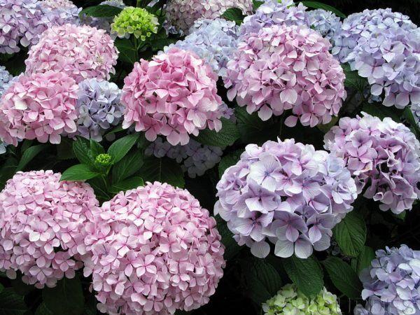 cuales-son-las-flores-de-invierno-hortensia
