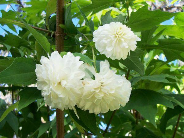 cuales-son-las-flores-de-invierno-montanoa-florecida