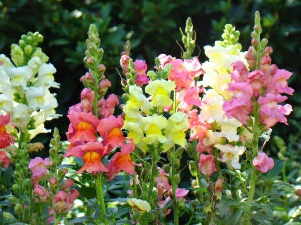 cuales-son-las-flores-de-la-primavera-boca-dragon