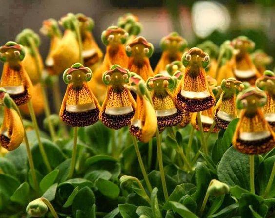 cuales-son-las-flores-de-la-primavera-calceolaria