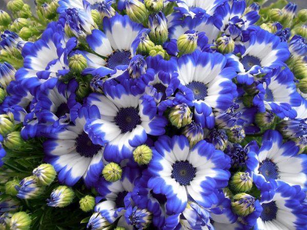 cuales-son-las-flores-de-la-primavera-cineraria
