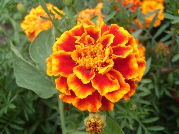 cuales-son-las-flores-de-la-primavera-claver-de-indias